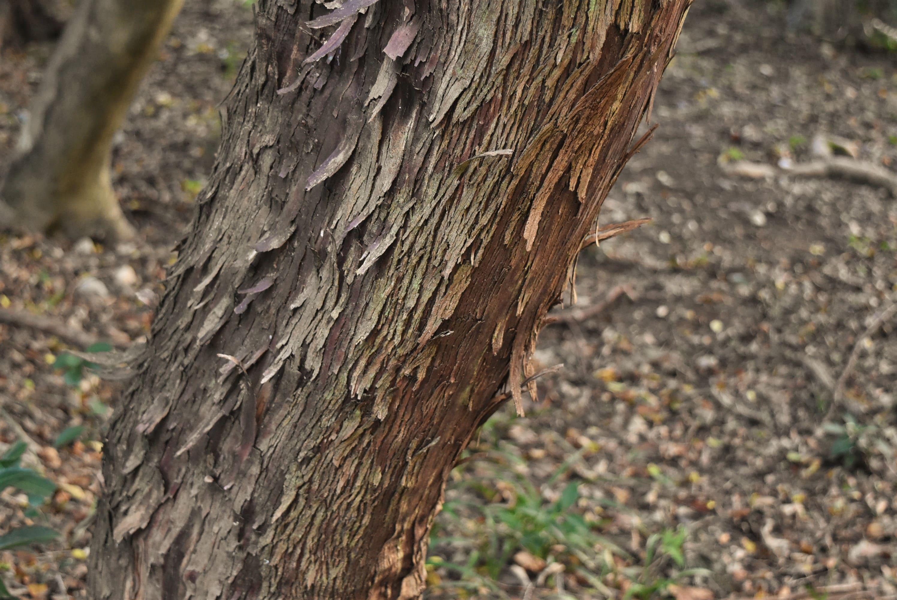 ワイルドベリー 樹木