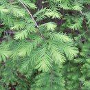 落葉針葉樹 植物図鑑