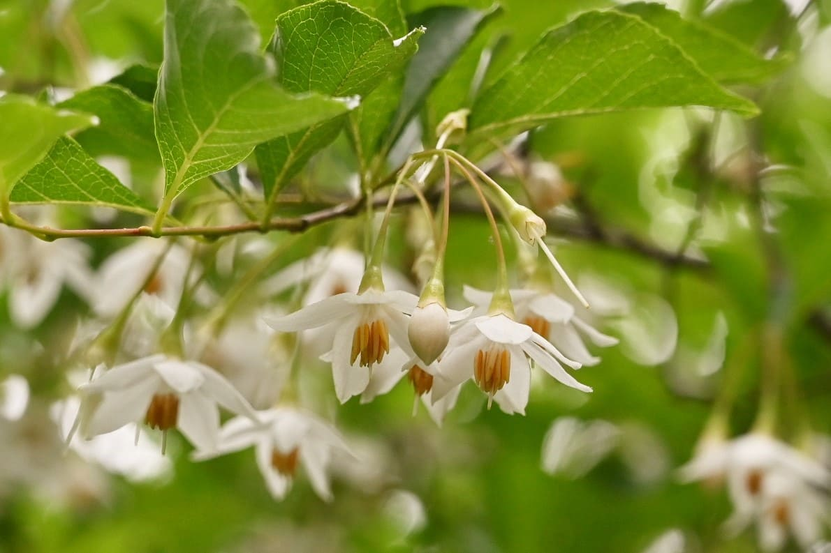 えごのき 開花時期