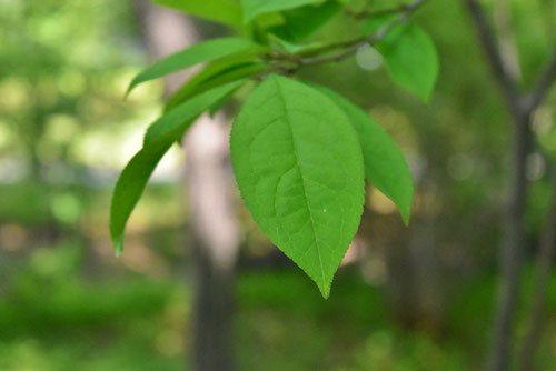 ウメモドキの葉っぱ 画像