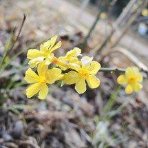 黄色の花 何