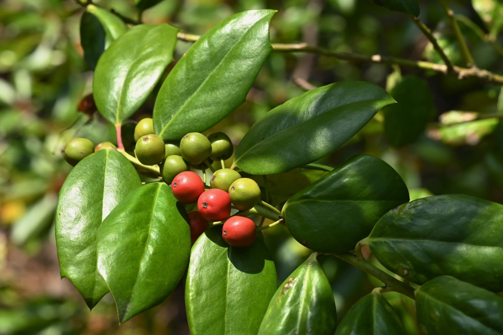 American holly tree,red fruits