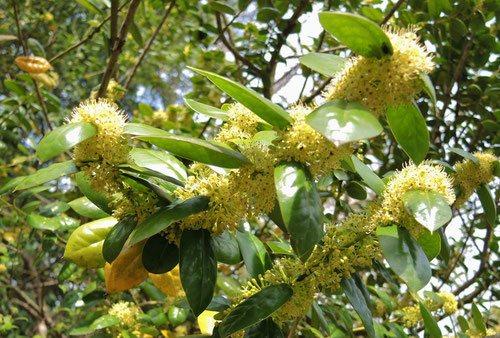 シナヒイラギ 花 画像