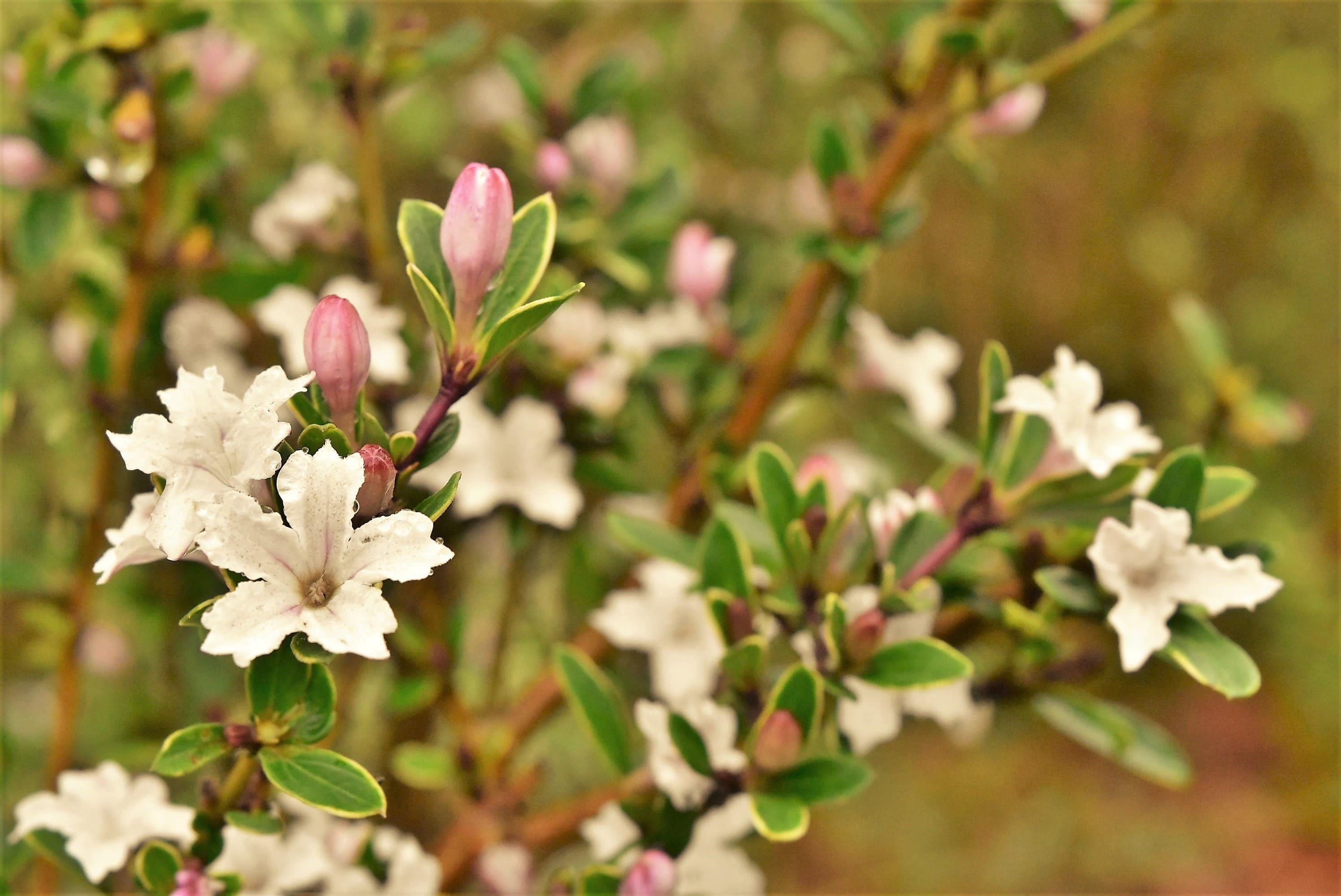 白丁花の花