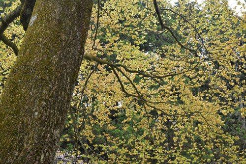 イヌブナ 樹木