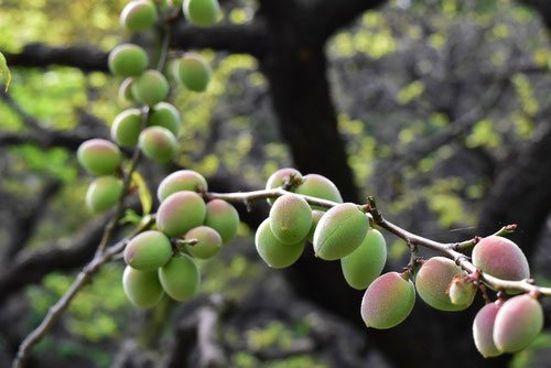 fruits of Japanese apricot