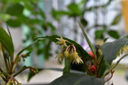 カラタチバナ ヒャクリョウ 花 赤い実