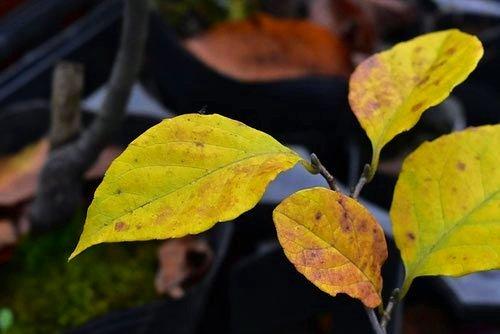 エゴノキ 紅葉 黄葉