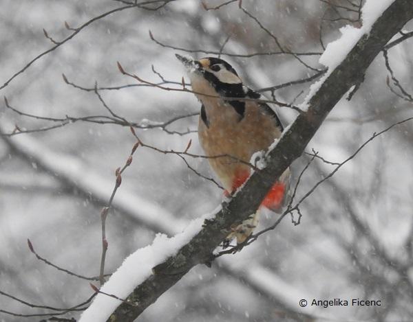 Buntspecht im Winter  © Mag. Angelika Ficenc
