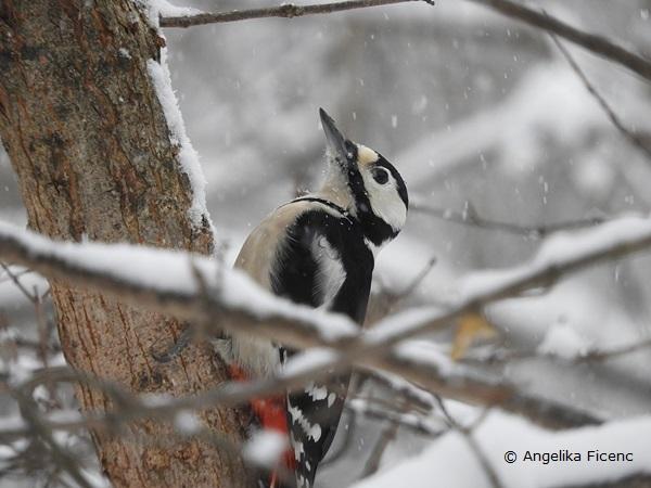Buntspecht im Winter