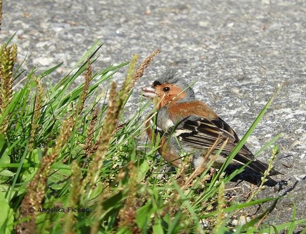Buchfink Männchen auf Nahrungssuche    © Mag. Angelika Ficenc