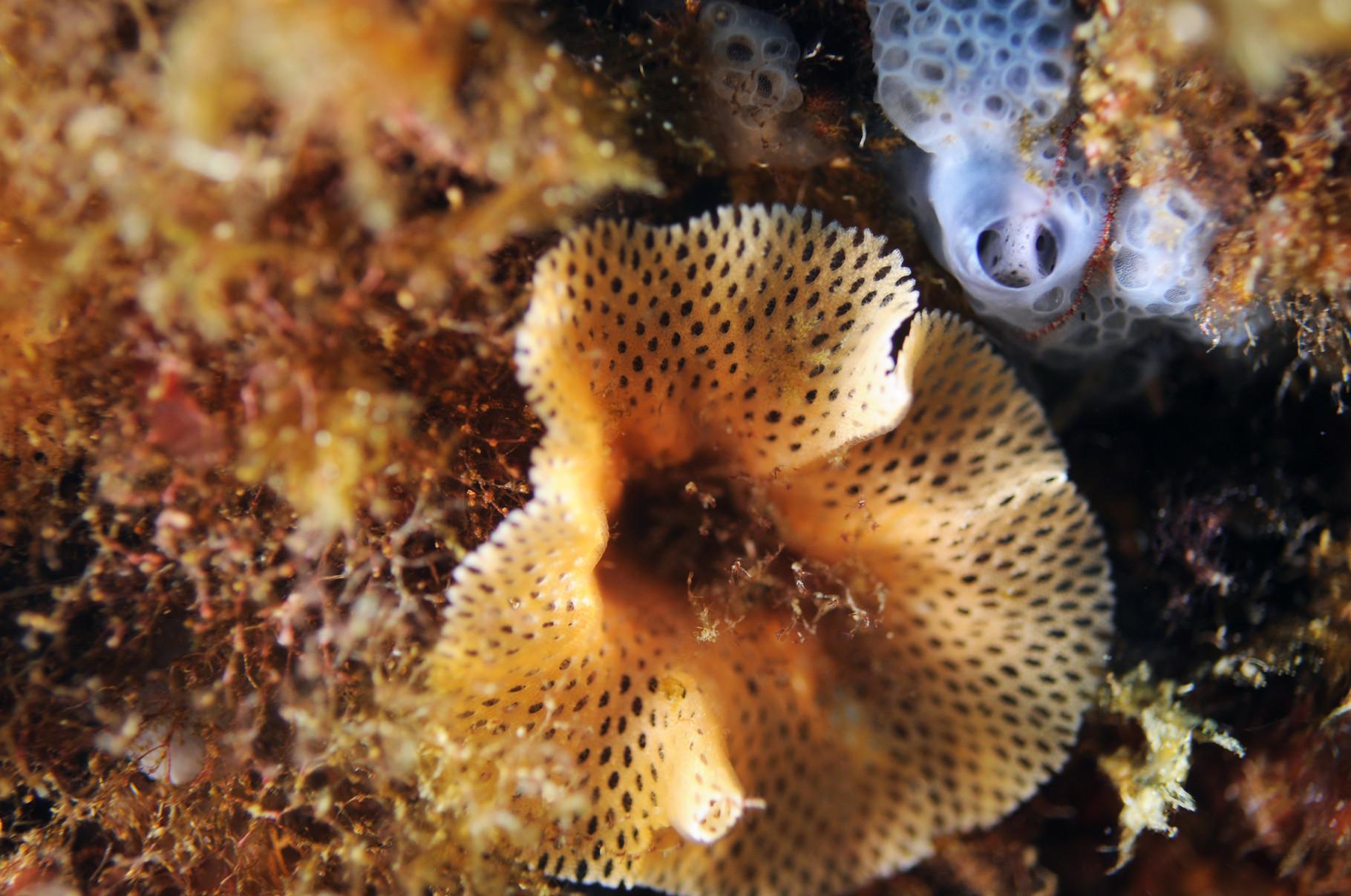 """Dentelle de Neptune """"Sertellea septentrionalis"""". Bryozoaire. Port Cros. Crédit : Jean-Luc Beaud"""