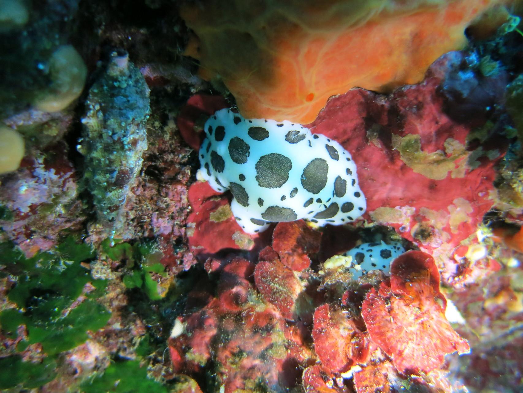 """Doris dalmatien """"Peltodoris atromaculata"""" Mollusques La Ciotat. Crédit : Jean-Luc Beaud"""
