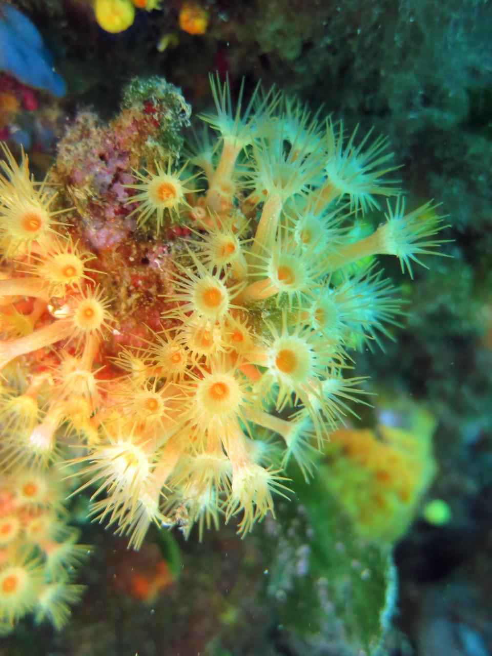 """Anémones encroutantes jaunes """"Parazoanthus axinellae"""" hexacoralliaire cnidaire. La Ciotat. Crédit : Jean-Luc Beaud"""