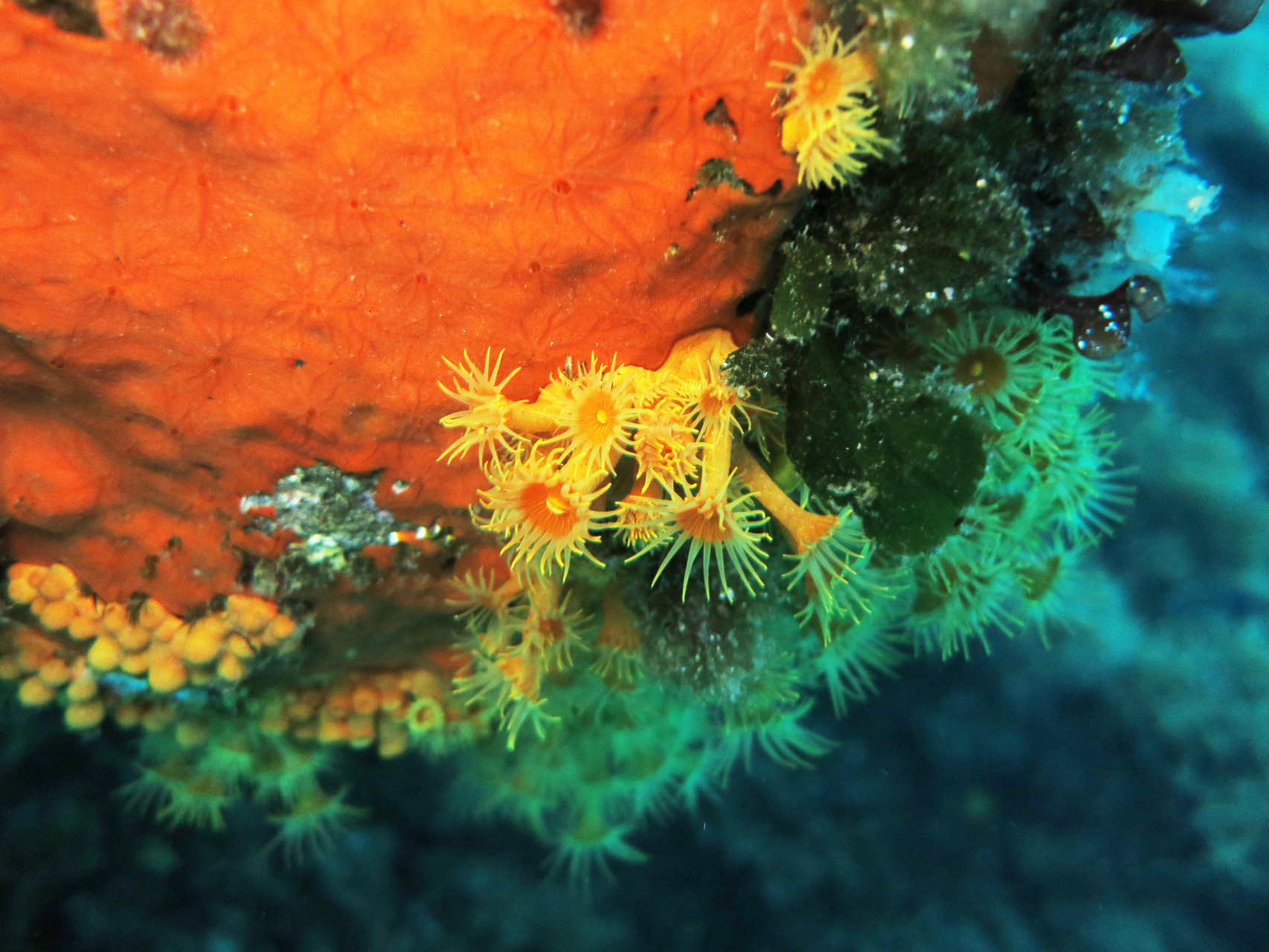 "Eponge orange ""Crambe crambe"" et anémones encroutantes jaunes ""Parazoanthus axinellae"" hexacoralliaire cnidaire. La Ciotat. Crédit : Jean-Luc Beaud"