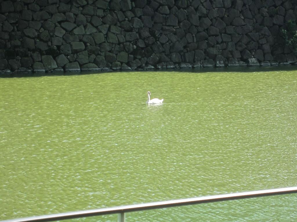 白鳥がきらきら光っていた・・・神々しい。。