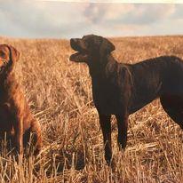 BBs Chesapeake Breeding Jill und Jeanny ( nachher Funny, Zuchthündin Fools Farms. )