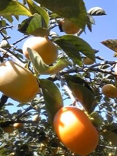 秋は 柿が似合う