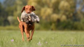 "Vizsla-Jagdhund ""Hunter vom Westerbach"""