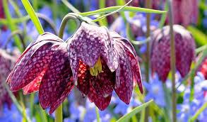 Fritillaria melagris Fam Liliacee (bulbosa)