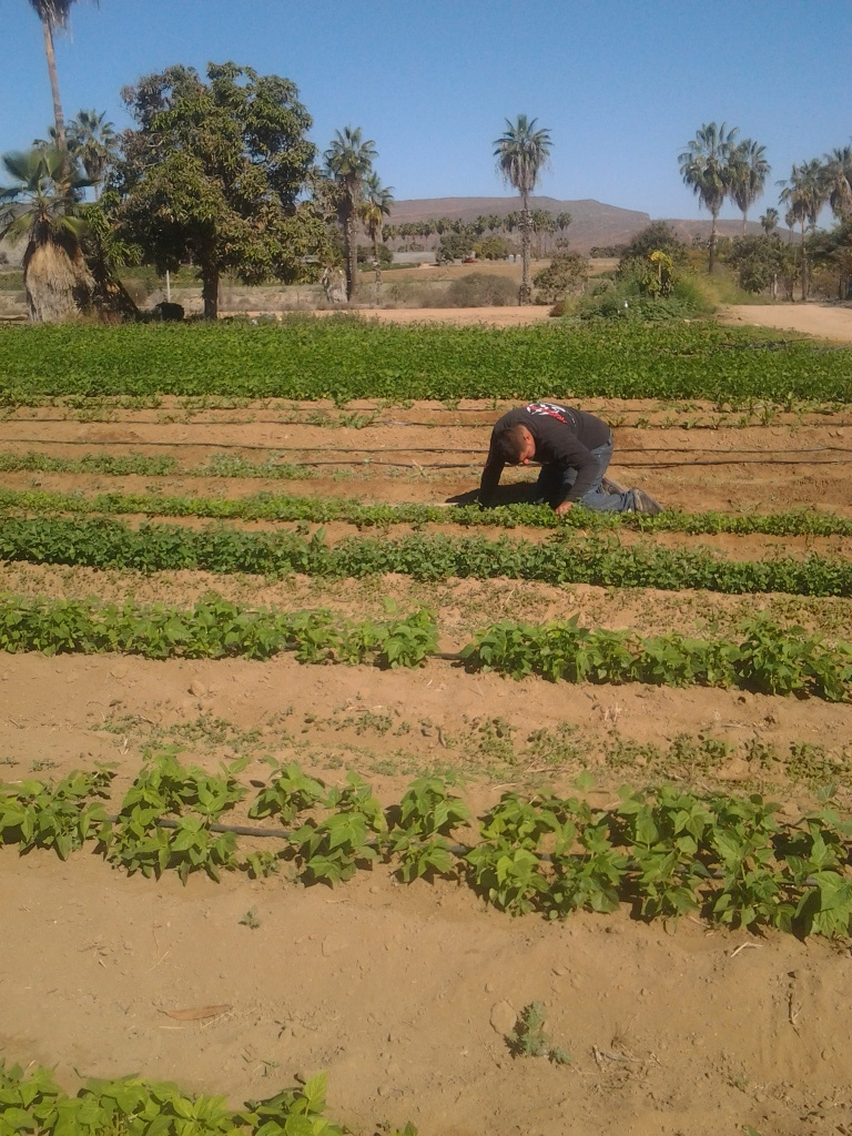 HERE IS THE CHEF TORITO HARVESTING SOME VEGETABLES FOR DINNER