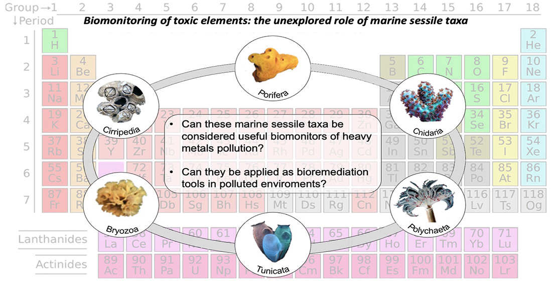 Biomonitoraggio di metalli pesanti: il ruolo inesplorato dei taxa sessili marini