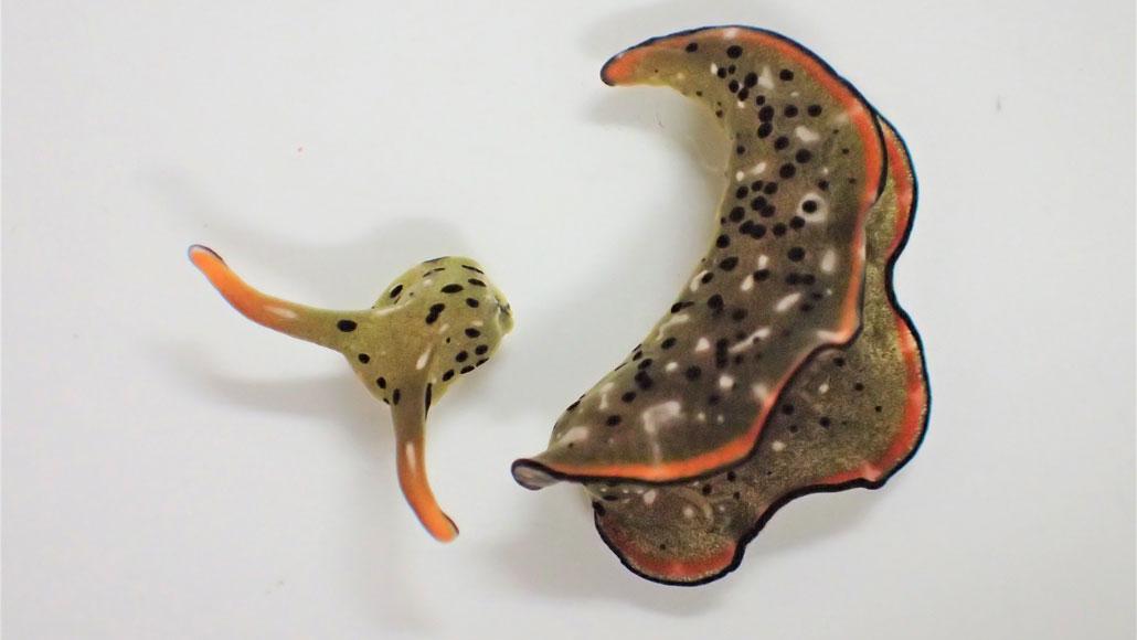 Perché le lumache di mare si tagliano la testa