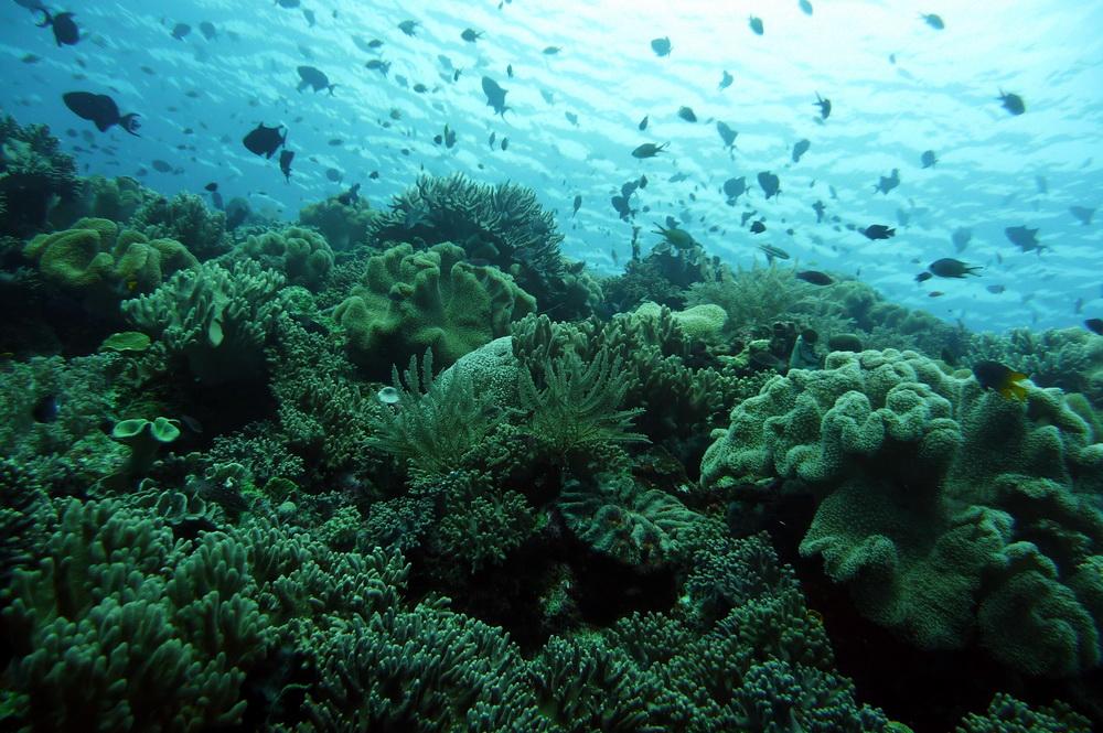 Mezzo trilione di coralli: il numero di coralli induce a ripensare ai rischi di estinzione