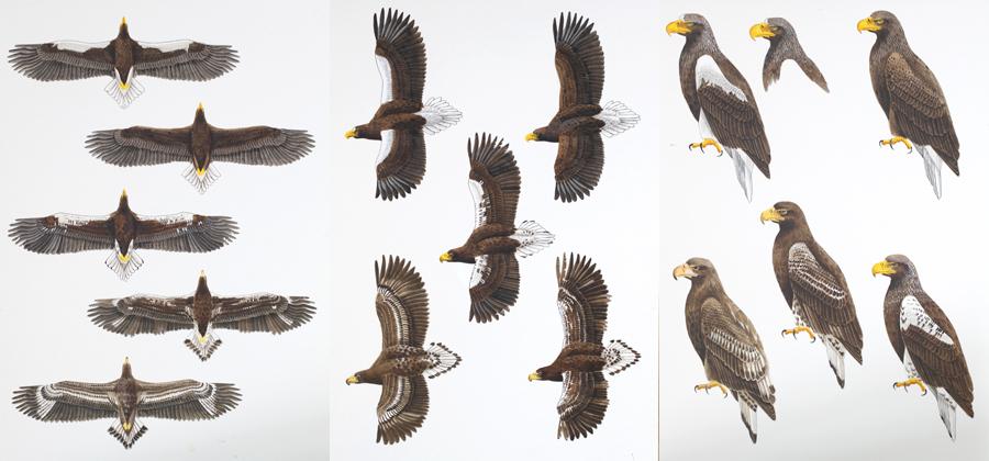 オオワシ Steller's See Eagle(Haliaeetus pelagicus)