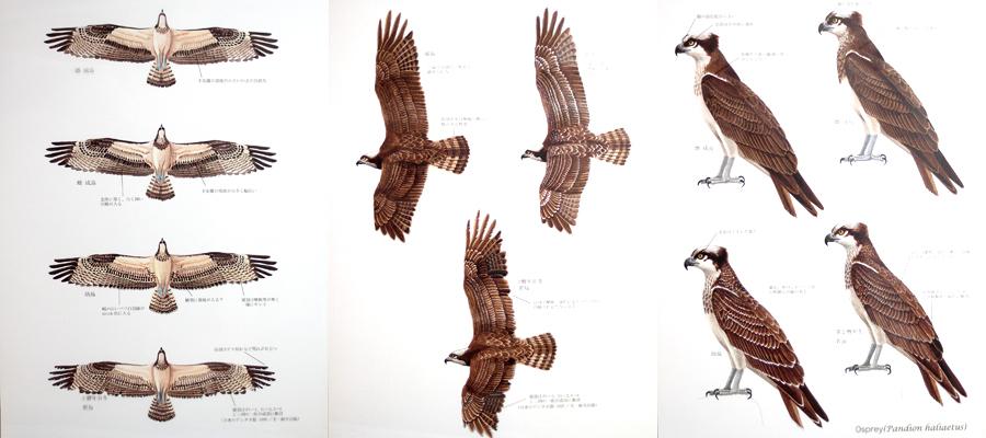 ミサゴ Osprey(Pandion haliaetus)