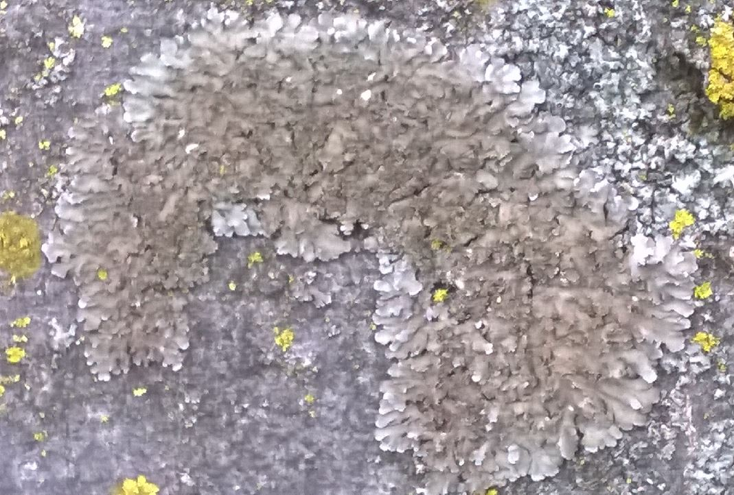 Physconia grisea   by Licheni in rete