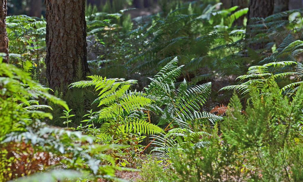 Die Ruhe des Waldes und das satte Grün der Farne sind eine Wohltat für die Seele..