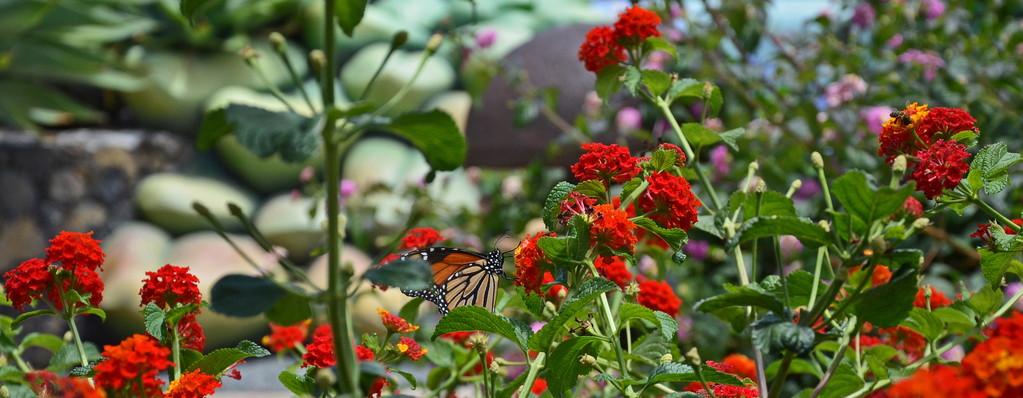 """Auf einem duftenden Schmetterlingsbusch lassen sich die """"Monarchenfalter"""" bevorzugt nieder."""