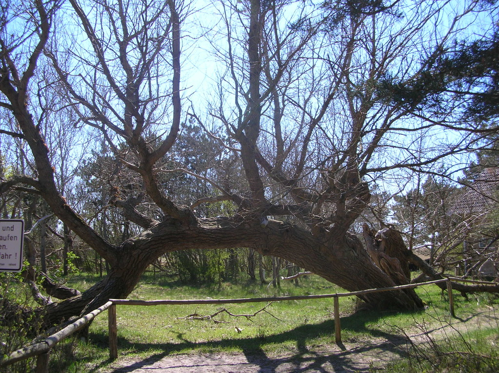 Darsser Wald