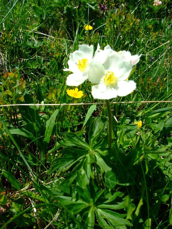 Anémonne à fleurs de Narcisse