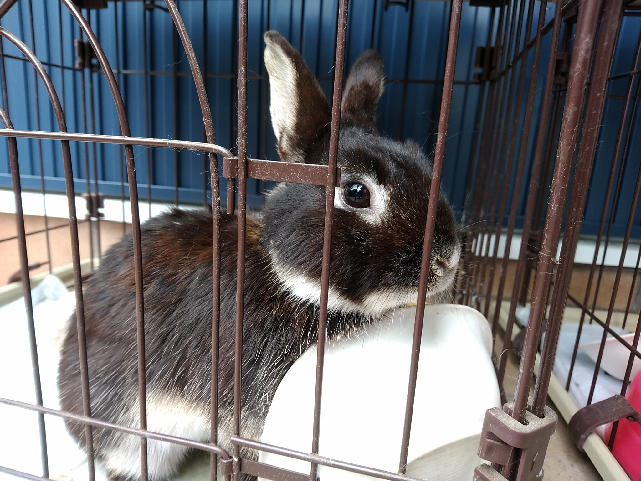 ミニウサギ 男の子 推定1歳ぐらい 仮名 ふぅ太
