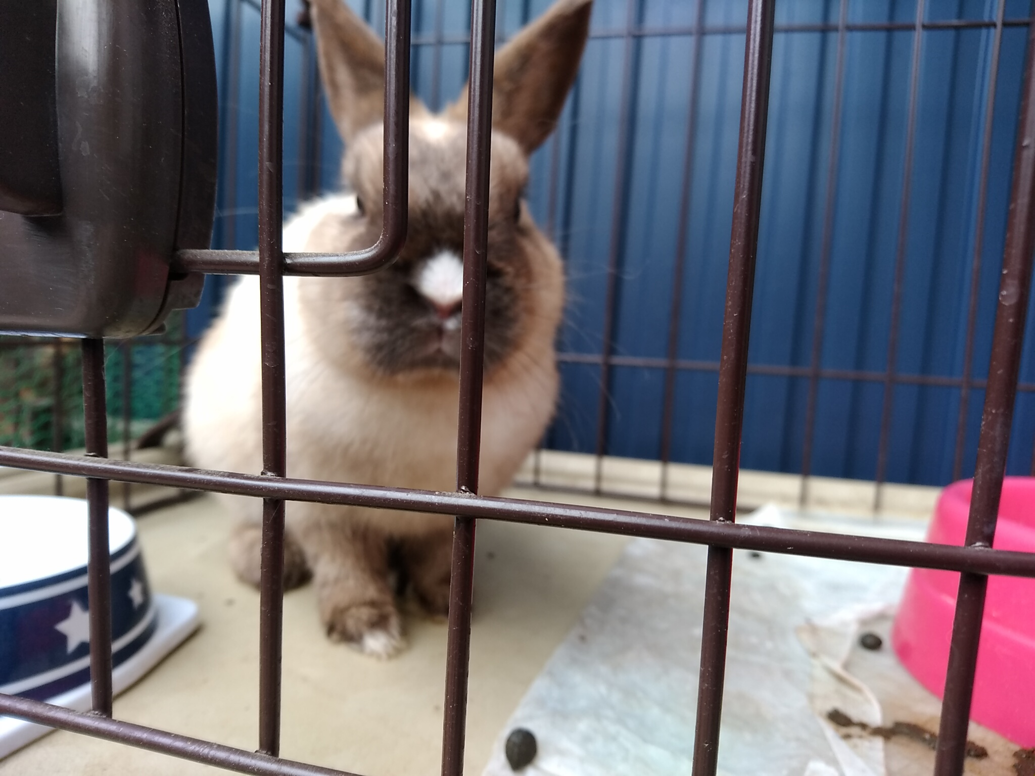 ミニウサギ 男の子 推定1歳ぐらい 仮名 コゲ太