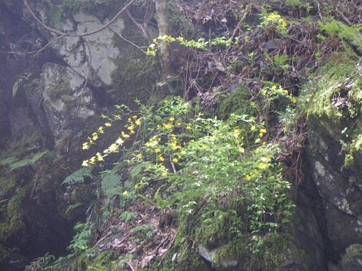 谷の入口、洞門の上のヤマブキ
