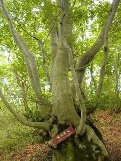 変わった形のブナの木
