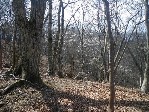 鎌倉谷源頭の尾根、標高900M付近でタムシバの群生