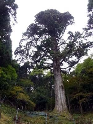 太郎杉、伊豆山中で一番大きな杉です