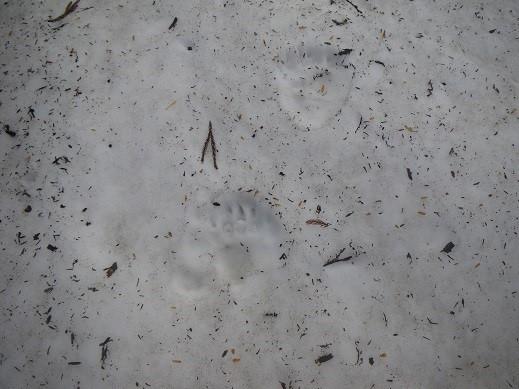 テン場近くで朝見つけた熊の足跡。
