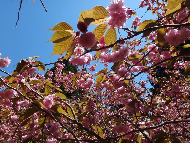 境内の桜がちょうど満開