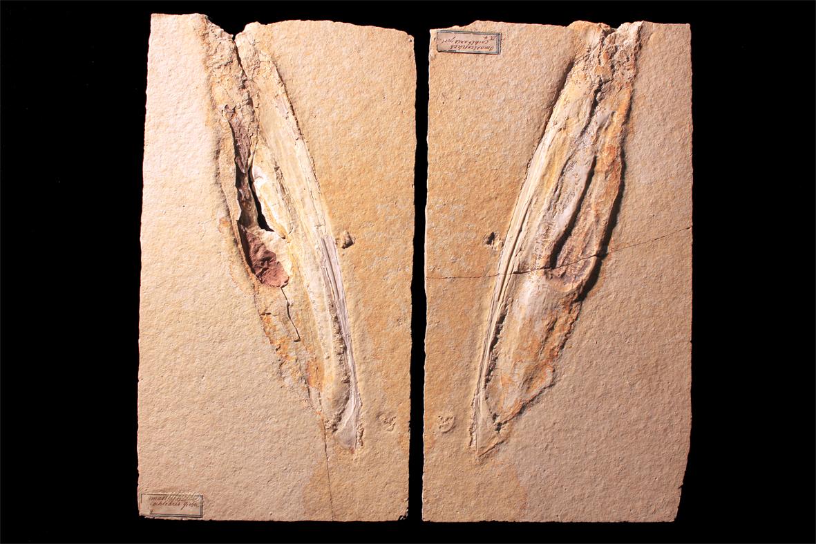 01 Plesioteuthis prisca