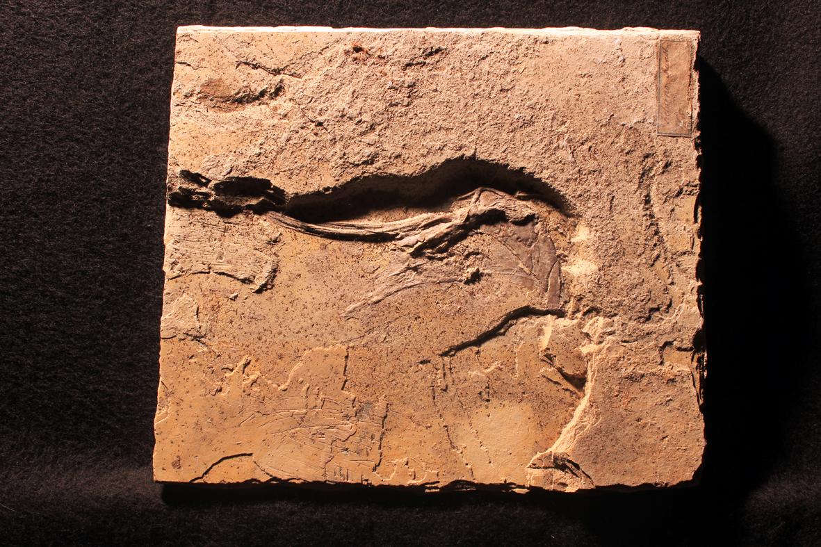 03 Muensterella scutellaris im Original-Zustand, ungeputzt und unpräpariert