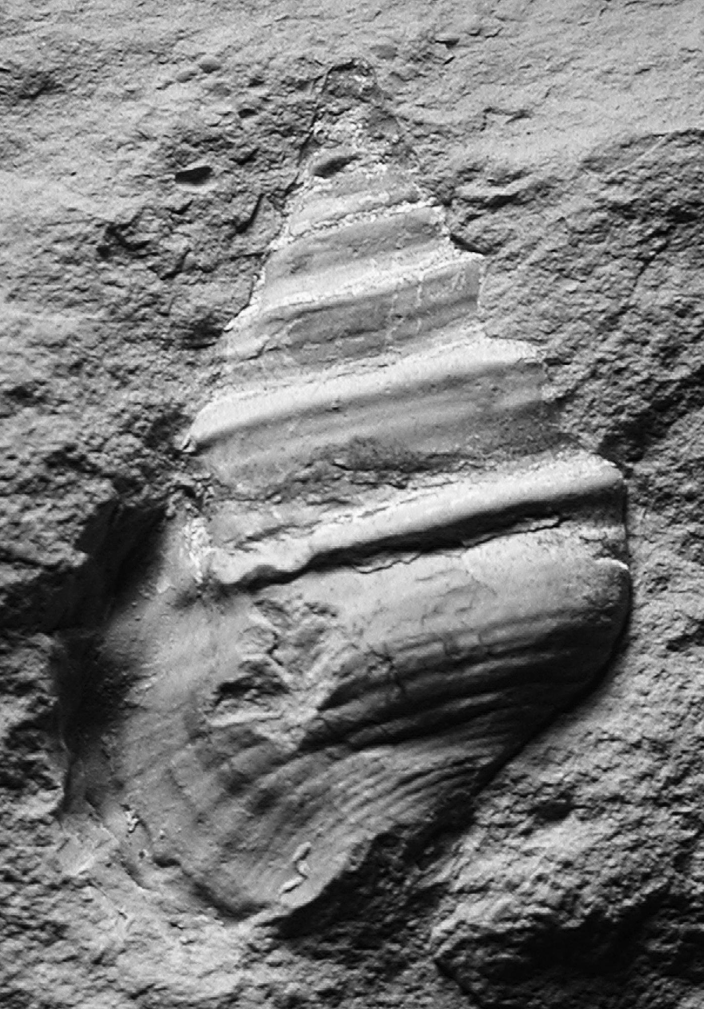 """Unbestimmte Gastropode; """"Unterer Zementmergel""""; Mergelbruch (Photo Heyng 2007)"""