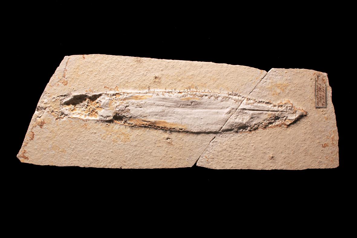 10b Plesioteuthis prisca