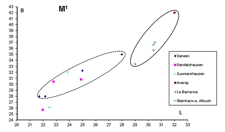 Abb. 5: Längen-Breiten-Diagramm des M1 von Amphicyon ...
