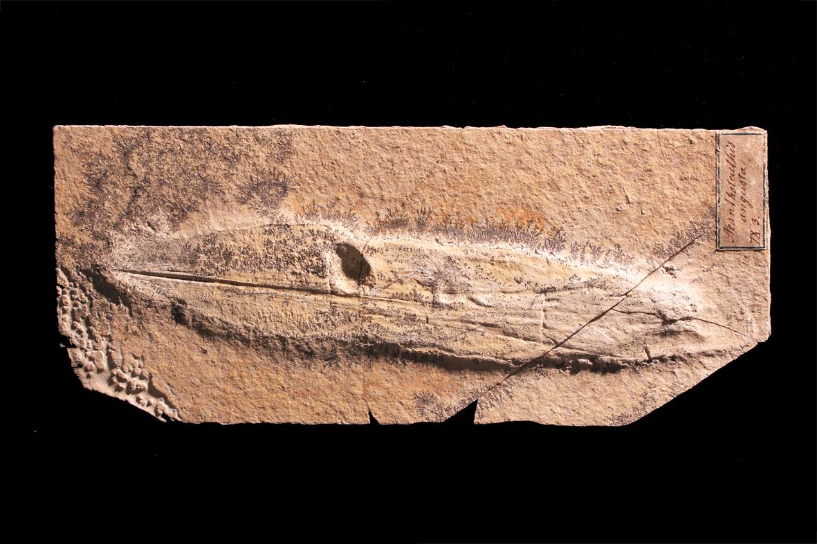 06 Plesioteuthis prisca