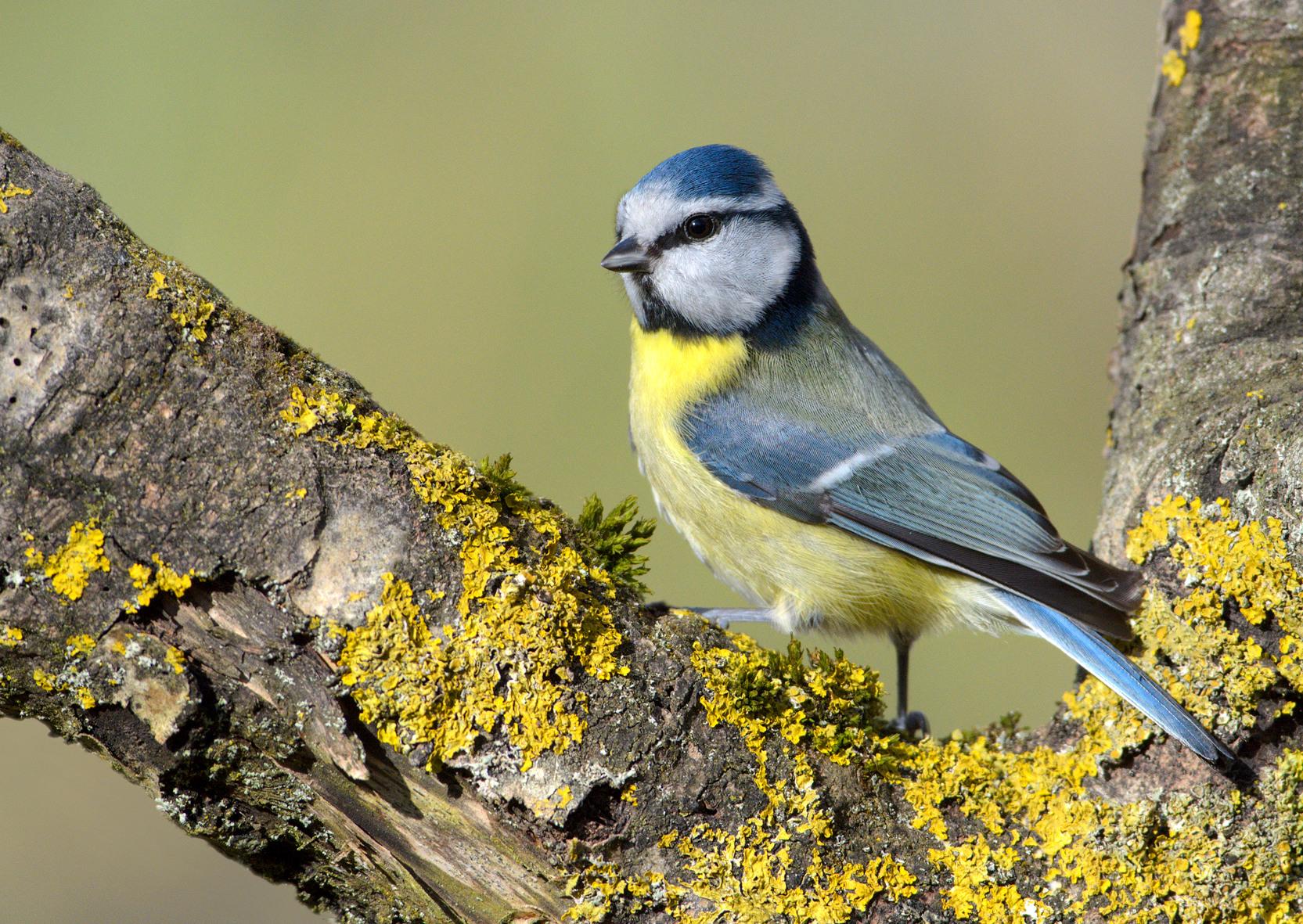 Die zierliche Blaumeise wurde Achte aber noch nie Vogel des Jahres. Foto: Nabu-Archiv
